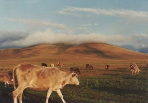 Bovine residents of Ardahan