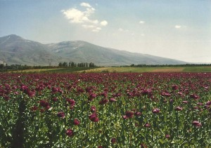 Large areas of Afyon are used for cultivation of pharmaceutical opiates.